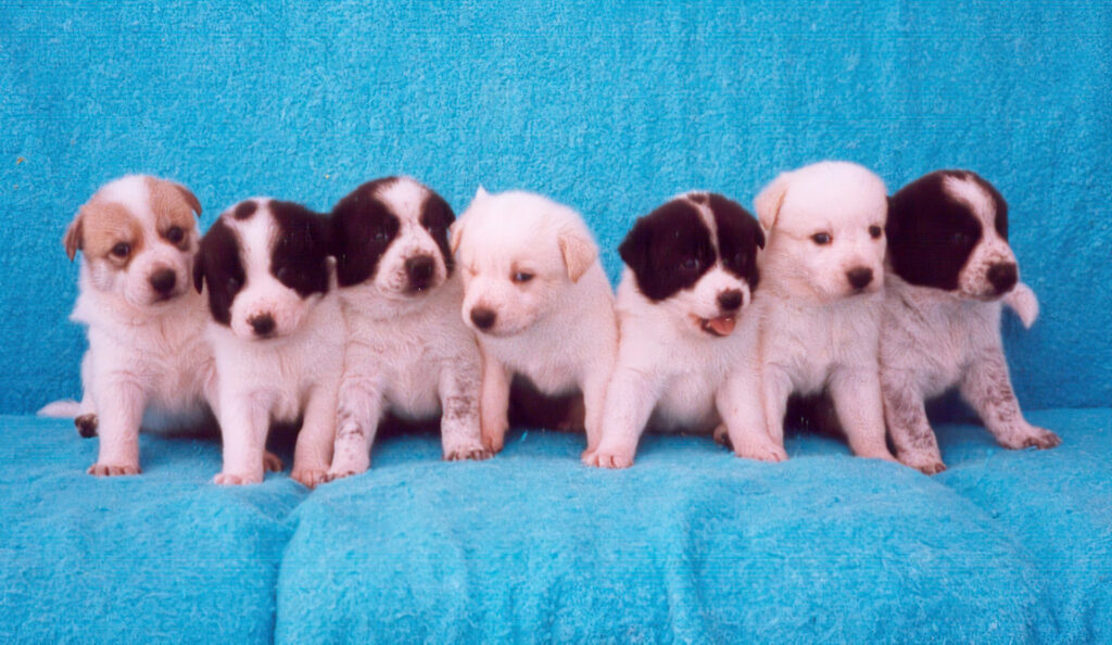 Canaan-Dog-Puppies-Group-Photo