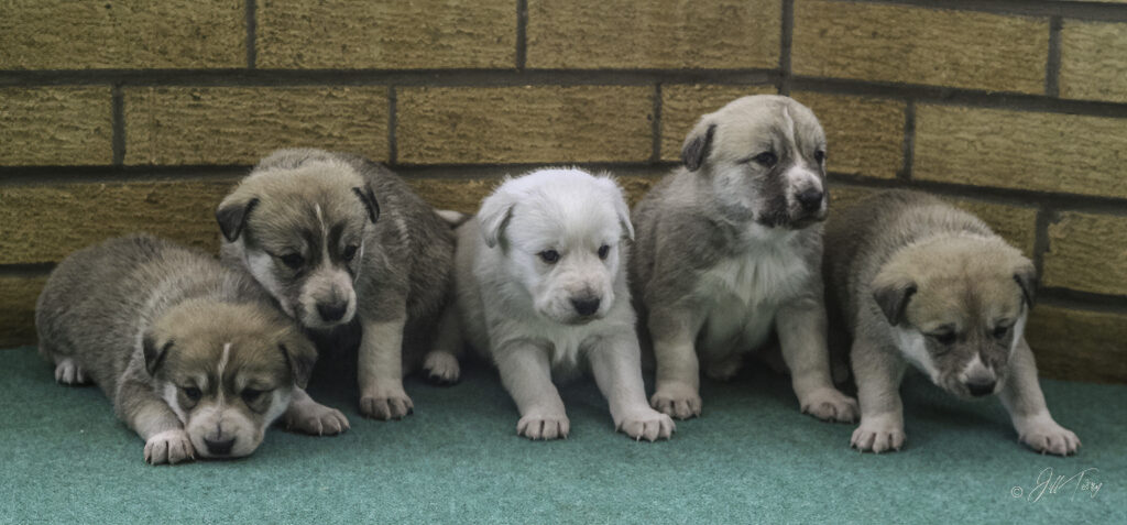 Canaan Dog Puppies